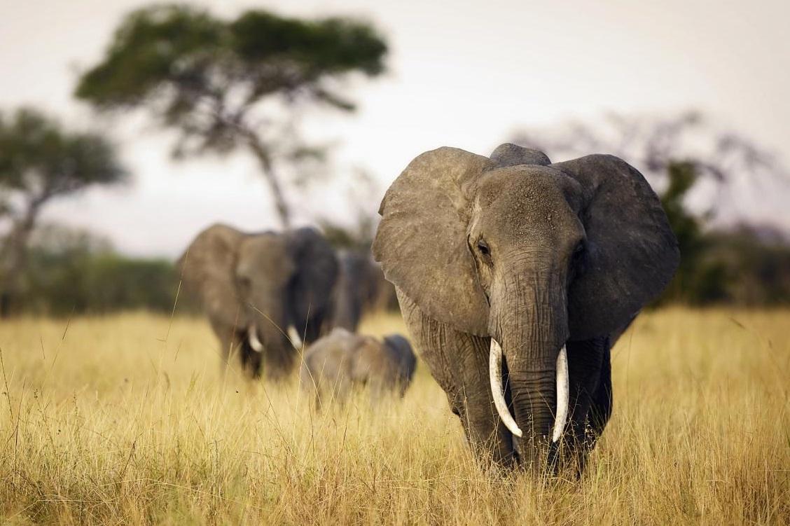 Eléphants Afrique